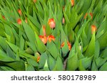 To Grow Tulips In The...