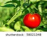 Red tomato on plant. - stock photo