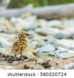 Brave Baby Seagull