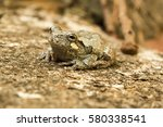 Tiny Tree Frog Sitting On A...