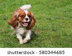 Stock photo cavalier king charles spaniel dog running 580344685