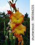 Yellow Orange Gladiolus