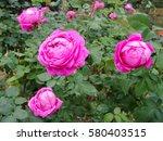 roses in the garden | Shutterstock . vector #580403515