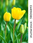 Close View Of Two Yellow Tulip...