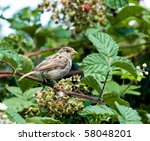 house sparrow | Shutterstock . vector #58048201