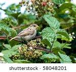 house sparrow | Shutterstock . vector #58048201
