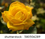 Beautiful Yellow Rose Flower I...