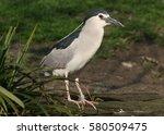 Black Crowned Night Heron ...