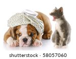 Stock photo angry kitten mouthing off to english bulldog puppy with a headache 58057060