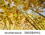 beech tree leaves coloured in... | Shutterstock . vector #580586941
