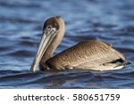 A Juvenile Brown Pelican Float...