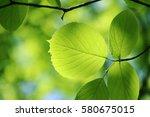 leaves of fresh green. leaves... | Shutterstock . vector #580675015