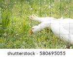 Geese Eat Grass