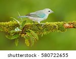 Blue Gray Tanager  Exotic...