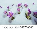 Blooming Violet Crocuses In...