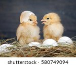 Newborn Chicks. Orange Chicks...