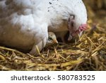 hen sitting on her chick... | Shutterstock . vector #580783525