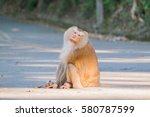 Macaque Monkey Sitting On The...