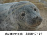 Common  Harbour  Seal Pup On...