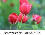 Garden Tulips.