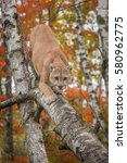 Small photo of Adult Male Cougar (Puma concolor) Climbs Down Birch Tree - captive animal