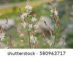 drimia maritima flowers...