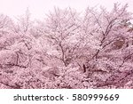 cherry blossoms  cherry blossom ... | Shutterstock . vector #580999669