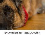 closeup of pet german shepherd... | Shutterstock . vector #581009254