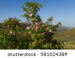 Wild Rose With Flowers  Rosa...