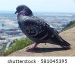 Fat Pigeon