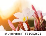 Plumeria Flower Blooming In Th...