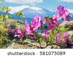 Flowering Rhododendron In The...