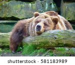 animals and wildlife  grizzly... | Shutterstock . vector #581183989