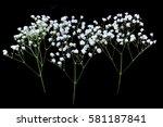 gypsophila isolated on black... | Shutterstock . vector #581187841