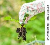 spring weeding in the garden ... | Shutterstock . vector #581198185