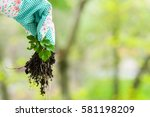 spring weeding in the garden ... | Shutterstock . vector #581198209
