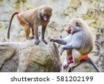 Hamadryas Baboon Couple Close...