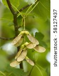 Small photo of Field Maple winged seeds - Acer campestre