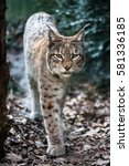 frontal capture of lynx in... | Shutterstock . vector #581336185