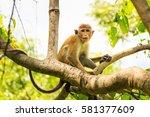 Sri Lankan Toque Macaque