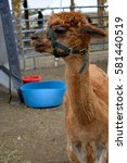 Small photo of A brown alpaca (llama) on a farm