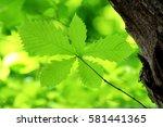 leaves of fresh green. leaves... | Shutterstock . vector #581441365