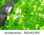 leaves of fresh green. leaves... | Shutterstock . vector #581441395