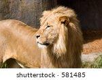 lion   san francisco zoo | Shutterstock . vector #581485