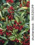 skimmia jap. ssp reevesiana ... | Shutterstock . vector #581520199