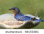 Eastern Bluebird  Sialia Siali...