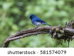 Small photo of Black Naped Monarch
