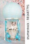 Cute Blue Eyed Ragdoll Baby Ca...