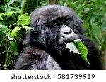 Mountain Gorilla  Young...