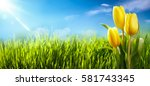 spring tulips in the field... | Shutterstock . vector #581743345